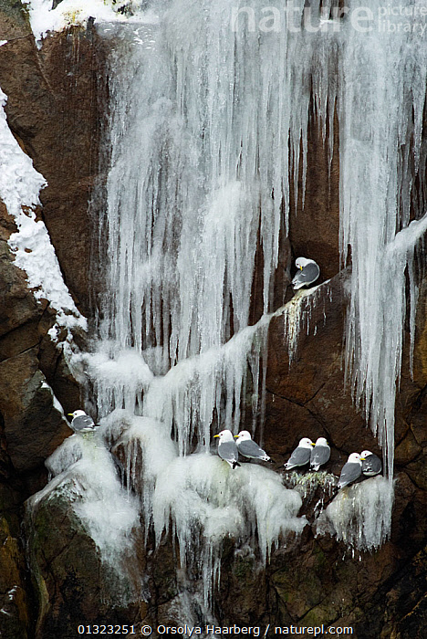 Kittiwakes (Rissa tridactyla) perched on cliff ledge with frozen icicles, Moskenes, Lofoten, Nordland, Norway, March  ,  ARCTIC,BIRDS,CLIFFS,EUROPE,GULLS,ICE,ICICLE,LARIDAE,NESTS,NORWAY,SCANDINAVIA,SEABIRDS,VERTEBRATES,VERTICAL,WATER,Geology  ,  Orsolya Haarberg