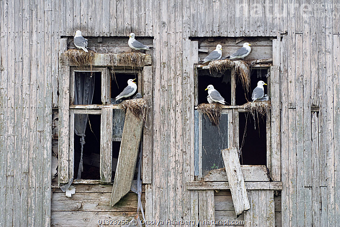 Kittiwakes (Rissa tridactyla) nesting in windows of an abandoned wooden house, Rost, Lofoten, Nordland, Norway, June  ,  ARCTIC,BIRDS,BUILDINGS,EUROPE,GULLS,LARIDAE,MALE FEMALE PAIR,NESTS,NORWAY,SCANDINAVIA,SEABIRDS,VERTEBRATES  ,  Orsolya Haarberg