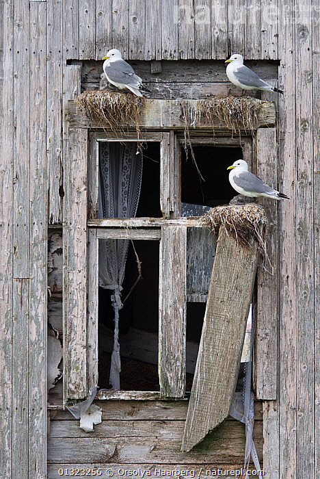 Kittiwakes (Rissa tridactyla) nesting in windows of an abandoned wooden house, Rost, Lofoten, Nordland, Norway, June  ,  ARCTIC,BIRDS,BUILDINGS,EUROPE,GULLS,LARIDAE,NESTS,NORWAY,SCANDINAVIA,SEABIRDS,VERTEBRATES,VERTICAL  ,  Orsolya Haarberg