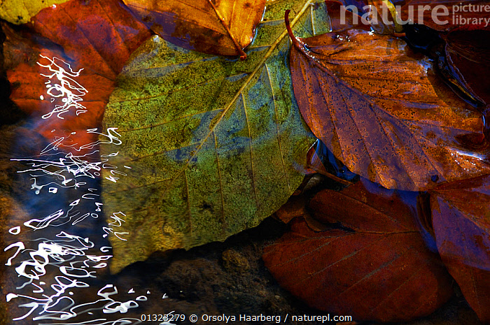 Sunlight reflected on the surface of a small river beside Beech leaves (Fagus sylvatica) Romania.  ,  ARTY SHOTS,AUTUMN,DICOTYLEDONS,EUROPE,FAGACEAE,LEAVES,PLANTS,REFLECTIONS,ROMANIA,WATER  ,  Orsolya Haarberg