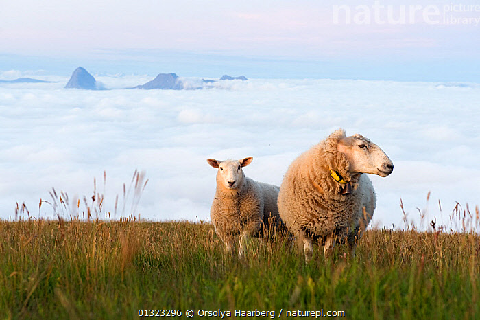 Sheep and lamb on the top of the Lundeura (Lovund, Luroy), with sea fog and Tomma (Nesna) in the background, Helgeland, Nordland, Norway, July 2009  ,  BABIES,COASTS,EUROPE,FOG,HABITAT,LAMBS,LANDSCAPES,LIVESTOCK,MOTHER BABY,NORWAY,SCANDINAVIA,SHEEP  ,  Orsolya Haarberg