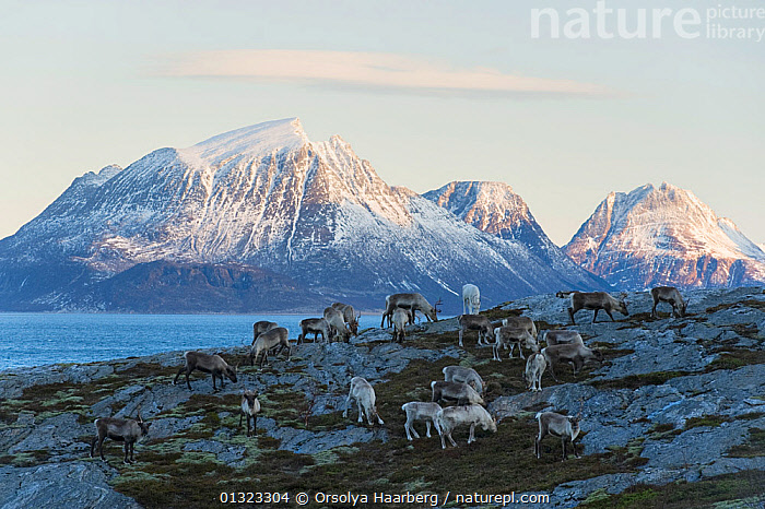 Domestic reindeer (Rangifer tarandus) on winter grazing land at the coast, grazing on algae and sea vegetation, Tomma with the island of Aldra in the background, Helgeland, Nordland, Norway, January 2010  ,  ARTIODACTYLA,CARIBOU,CERVIDS,COASTS,DEER,EUROPE,GROUPS,LANDSCAPES,MAMMALS,MOUNTAINS,NORWAY,SCANDINAVIA,SNOW,VERTEBRATES,WINTER  ,  Orsolya Haarberg