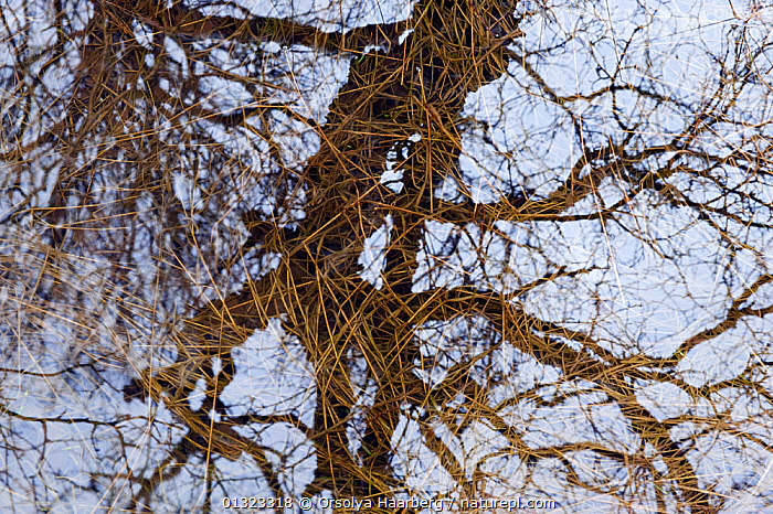 Willow tree reflected in a grassy pond, Iceland, April.  ,  ABSTRACT,ARTY SHOTS,BRANCHES,EUROPE,ICELAND,PONDS,REFLECTIONS,WATER  ,  Orsolya Haarberg