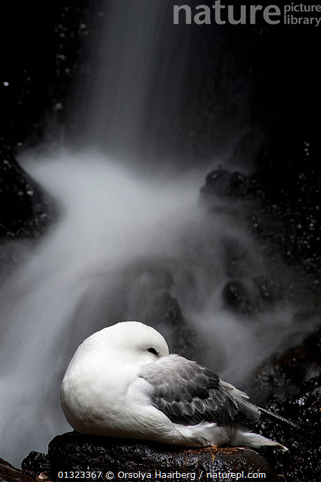 Dying Northern fulmar (Fulmarus glacialis) on the dark bottom of a deep gorge, Saefellsnes peninsula, Iceland, September 2010  ,  BIRDS,blurred motion,catalogue3,close up,CLOSE UPS,DEATH,dying,elevated view,EUROPE,gorge,ICELAND,MIST,nature,Nobody,one animal,outdoors,PETRELS,plumage,SAD,Saefellsnes peninsula,SEABIRDS,the end,VERTEBRATES,VERTICAL,WATER,WATERFALLS,WILDLIFE,Concepts  ,  Orsolya Haarberg