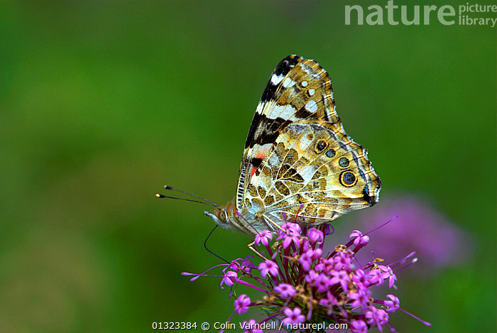 Painted Lady butterfly (Vanessa cardui) feeding on nectar from Phuopsis stylosa flowers. Dorset, UK. September 2007  ,  ARTHROPODS, BUTTERFLIES, CULTIVATED, ENGLAND, FEEDING, FLOWERS, GARDENS, INSECTS, INVERTEBRATES, LEPIDOPTERA, nectar, SUMMER, UK,Europe,United Kingdom  ,  Colin Varndell