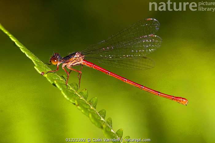 Male Small Red Damselfly (Ceriagrion tenellum) at rest on stem, Dorset, UK July  ,  ARTHROPODS,DAMSELFLIES,ENGLAND,INSECTS,INVERTEBRATES,MALES,ODONATA,PORTRAITS,RED,SMALL,UK,Europe,United Kingdom  ,  Colin Varndell