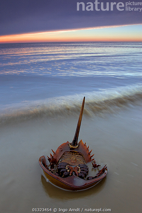 Horseshoe crab (Limulus polyphemus) lying on its back the morning after spawning night, Delaware Bay, Delaware, USA, May  ,  ARTHROPODS,BEACHES,COASTS,HORSESHOE CRABS,INVERTEBRATES,LIMULIDAE,MARINE,NORTH AMERICA,UPSIDE DOWN,USA,VERTICAL,core collection xtwox  ,  Ingo Arndt