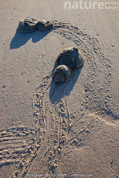 Two pairs of Horseshoe crabs (Limulus polyphemus) mating with trails in sand, Delaware Bay, Delaware, USA, May  ,  ARTHROPODS,COPULATION,FOUR,HORSESHOE CRABS,INVERTEBRATES,LIMULIDAE,MALE FEMALE PAIR,MARINE,MATING BEHAVIOUR,NORTH AMERICA,SAND,TRACKS,USA,VERTICAL,Reproduction  ,  Ingo Arndt