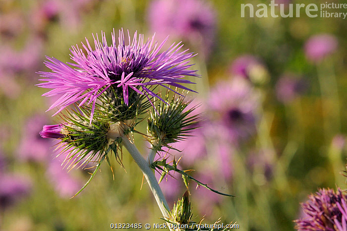 Cotton / Scotch thistles (Onopordum acanthum) flowering in profusion in the National Park of Port Cros island, France, May  ,  AGGREGATIONS,ASTERACEAE,COMPOSITAE,DICOTYLEDONS,EUROPE,FLOWERS,FRANCE,MEDITERRANEAN,NP,PLANTS,PURPLE,National Park  ,  Nick Upton