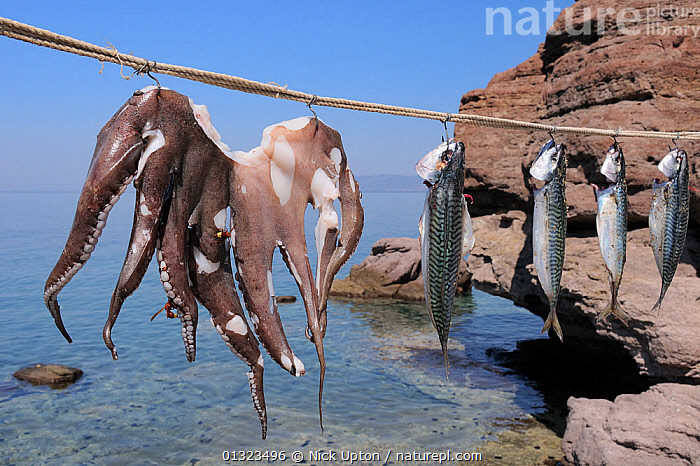 Oriental hornets (Vespa orientalis) feeding on Common Octopus (Octopus vulgaris) hanging in the sun alongside Atlantic mackerel (Scomber scombrus). Skala Sikaminia harbour, Lesbos / Lesvos, Greece, August 2010.  ,  BONY,CEPHALOPODS,DEAD,DRYING,ENVIRONMENTAL,EUROPE,FEEDING,FISH,FOOD,FRANCE,HARBOURS,HORNETS,HYMENOPTERA,INSECTS,INVERTEBRATES,ISLANDS,LANDSCAPES,MARINE,MEDITERRANEAN,MIXED SPECIES,MOLLUSCS,OCTOPUS,ORIENTAL WASP,OSTEICHTHYES,RED,ROPE,SEA,SEAFOOD,STRING,SUCKERS,TENTACLES,VERTEBRATES,YELLOW  ,  Nick Upton