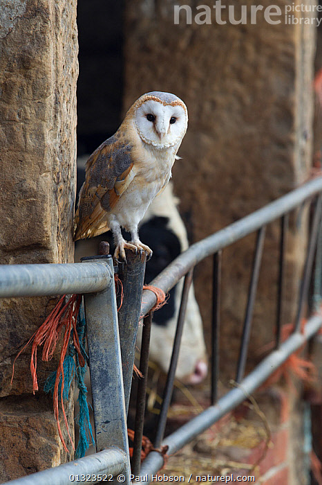 Barn Owl (Tyto alba) perched on post outside cowshed, with British Friesian cow behind, captive, UK, November  ,  BIRDS,BIRDS OF PREY,BUILDINGS,cows,dairy,farm,farming,farms,LIVESTOCK,OWLS,PORTRAITS,UK,VERTEBRATES,VERTICAL,Europe,United Kingdom,Raptor  ,  Paul Hobson
