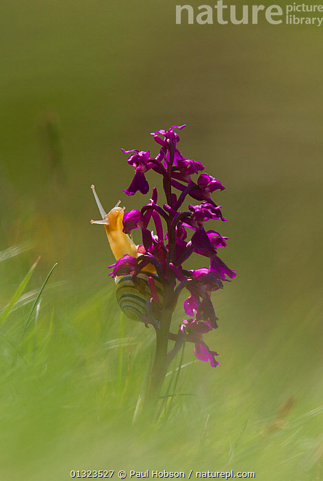 Early Purple Orchid (Orchis mascula) in flower with Banded snail, Cressbrook Dale, Derbyshire  ,  Cepaea,ENGLAND,FLOWERS,MEADOWLAND,MONOCOTYLEDONS,ORCHIDACEAE,orchids,PLANTS,SUMMER,UK,VERTICAL,Europe,Grassland,United Kingdom  ,  Paul Hobson