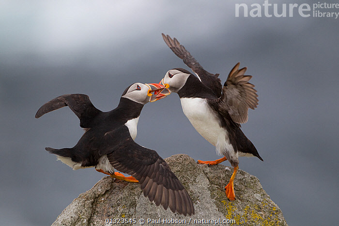 Two Puffins (Fratercula arctica) fighting, Saltees Islands, Ireland, July  ,  atlantic puffin,AUKS,BIRDS,COASTS,FIGHTING,IRELAND,ISLANDS,SEABIRDS,two,VERTEBRATES,Aggression,Europe  ,  Paul Hobson