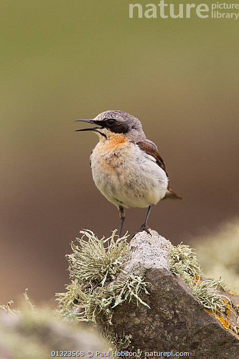 Wheatear (Oenanthe oenanthe) male calling, perched on lichen covered rock, UK, June  ,  BIRDS,CALLING,LICHEN,songbirds,SUMMER,Turdidae,UK,VERTEBRATES,VERTICAL,VOCALISATION,WHEATEARS,Europe,United Kingdom,Chats  ,  Paul Hobson