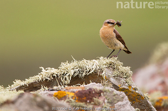 Wheatear (Oenanthe oenanthe) with insect prey, perched on lichen covered rock, UK, June  ,  BIRDS,FEEDING,HUNTING,INSECTS,LICHEN,PREDATION,songbirds,SUMMER,Turdidae,VERTEBRATES,WHEATEARS,Invertebrates,Behaviour,Europe,United Kingdom,Chats  ,  Paul Hobson
