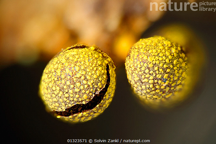 Slime mold / mould (Physarum citrinum) close up, Germany, digital focus stacking  ,  FUNGI,MACRO,MICROGRAPH,MICROSCOPY,MOULDS,SLIME MOULDS,TWO,YELLOW,Europe  ,  Solvin Zankl