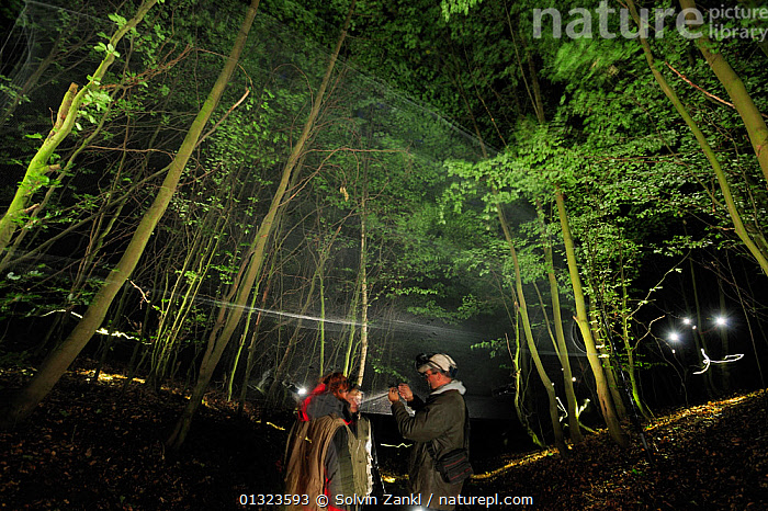 Bat expert Dirk Karoske and his team take a captured bat from the net with a dragnet. Stralsund, Germany, June 2009  ,  bat,BATS,captured,catalogue3,catching,dragnet,EUROPE,expert,forest,FORESTS,GERMANY,lit light,low angle view,MAN,nature,nets,NIGHT,one person,outdoors,PEOPLE,RESEARCH,scientists,spotlight,STANDING,Stralsund,woodland,WOODLANDS  ,  Solvin Zankl