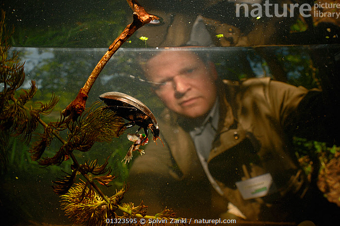 Lars Hendrickson watching Black piston water beetles (Hydrophilus aterrimus)  feeding on a tadpole, State Collection in Munich, Germany, June  ,  AMPHIBIANS,AQUARIUM,BEHAVIOUR,catalogue3,Caucasian,COLEOPTERA,differential focus,FEEDING,focus on foreground,food chain,FRESHWATER,GERMANY,HYDROPHILIDAE,INSECTS,INVERTEBRATES,MAN,Munich,observing,one person,outdoors,PEOPLE,pond weed,PREDATION,RESEARCH,selective focus,side view,tadpole,tanks,TEMPERATE,two animals,UNDERWATER,watching,water level,WATER BEETLES,Europe  ,  Solvin Zankl