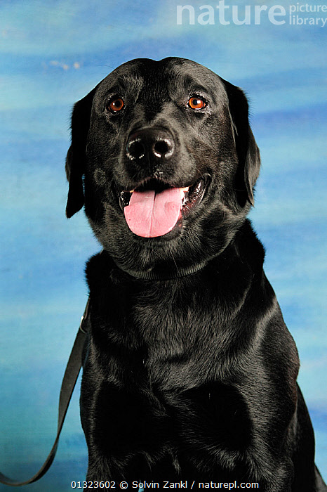 Black labrador head portrait, sitting and panting  ,  DOGS,GUNDOGS,LARGE DOGS,MEDIUM DOGS,PANTING,PETS,PORTRAITS,SITTING,TONGUES,VERTEBRATES,VERTICAL,Canids  ,  Solvin Zankl