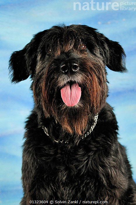 Portrait of a Bouvier des Flander cross-breed dog, sitting and panting  ,  animal portrait,BLACK,Bouvier des Flander,catalogue3,close up,CLOSE UPS,cross breed,Dog,dog chain,DOGS,facial expression,friendly,front view,large dogs,mongrels,mutts,Nobody,obedience,one animal,outdoors,panting,pastoral dogs,PETS,PORTRAITS,SITTING,Studio,TONGUES,VERTEBRATES,VERTICAL,Canids  ,  Solvin Zankl