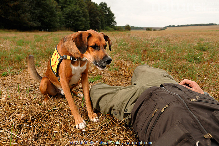 Dog working in rescue / training situation, with victim lying on ground in field, Germany, September 2009  ,  BARKING,DOGS,GERMANY,LARGE DOGS,PEOPLE,PETS,RESCUE,RESCUING,VERTEBRATES,VOCALISATION,WORKING,Europe,Canids  ,  Solvin Zankl