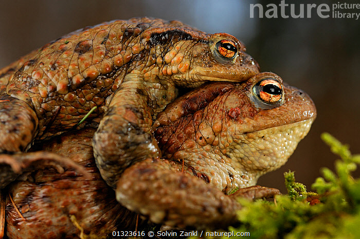 Pair of Common toads (Bufo bufo) in amplexus, travelling to breeding pond, Germany  ,  AMPHIBIANS,ANURA,BEHAVIOUR,COPULATION,EUROPE,FRESHWATER,MALE FEMALE PAIR,PONDS,REPRODUCTION,TOADS,VERTEBRATES  ,  Solvin Zankl