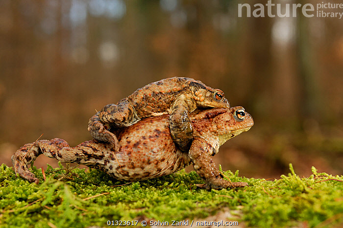 Breeding pair of Common european toads (Bufo bufo) travelling to breeding pond, Germany  ,  AMPHIBIANS,AMPLEXUS,ANURA,BEHAVIOUR,CARRYING,EUROPE,FRESHWATER,GERMANY,MALE FEMALE PAIR,REPRODUCTION,TOADS,VERTEBRATES,WALKING  ,  Solvin Zankl