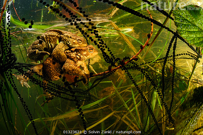 Pair of Common european toads (Bufo bufo) in amplexus with strings of toadspawn, in pond, Germany  ,  AMPHIBIANS,ANURA,BEHAVIOUR,EGGS,FRESHWATER,MALE FEMALE PAIR,PONDS,REPRODUCTION,TOADS,UNDERWATER,VERTEBRATES,Europe  ,  Solvin Zankl