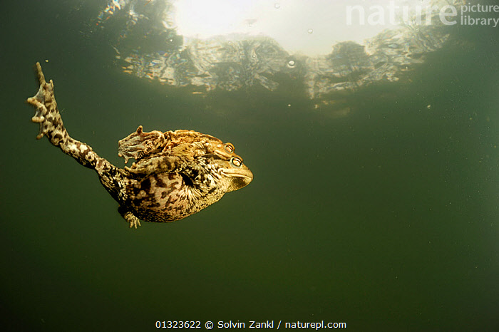 Pair of Common european toads (Bufo bufo) swimming together in pond, Germany  ,  AMPHIBIANS,animal marking,Anura,BEHAVIOUR,catalogue3,close up,CLOSE UPS,copyspace,ease,EGGS,FRESHWATER,GERMANY,grace,MALE FEMALE PAIR,negative space,Nobody,outdoors,pond,PONDS,REPRODUCTION,side view,sunlight,SWIMMING,TOADS,Togetherness,two animals,UNDERWATER,unity,VERTEBRATES,WATER,WILDLIFE,Europe  ,  Solvin Zankl