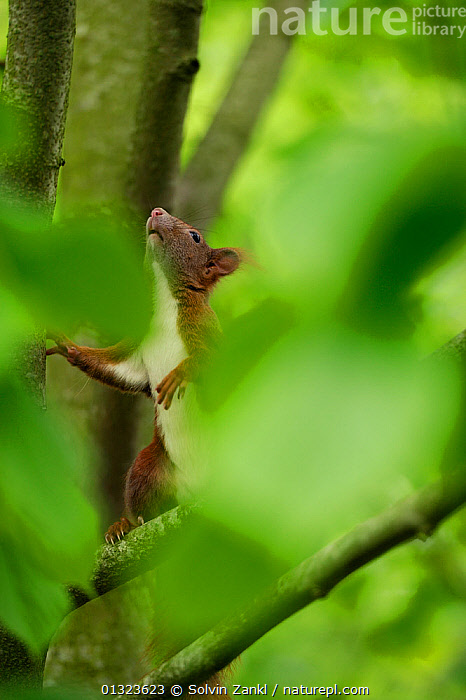 Eurasian red squirrel (Sciurus vulgaris) climbing in tree, Germany  ,  BRANCHES,catalogue3,CLIMBING,close up,CLOSE UPS,contemplation,differential focus,expectation,focus on background,GERMANY,HABITAT,hind legs,JUVENILE,LEAVES,looking up,MAMMALS,nature,Nobody,one animal,outdoors,rear legs,rodents,selective focus,SPRING,SQUIRRELS,STANDING,TREES,VERTEBRATES,VERTICAL,WILDLIFE,Europe,PLANTS  ,  Solvin Zankl