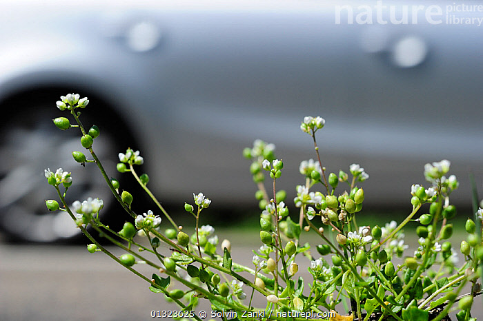 Real scurvy grass (Cochlearia officinalis) growing on the side of the motorway, Germany  ,  BRASSICA,BRASSICACEAE,CARS,DICOTYLEDONS,FLOWERS,GERMANY,PLANTS,ROADS,TRAFFIC,VEHICLES,VERGES,WHITE,Europe  ,  Solvin Zankl