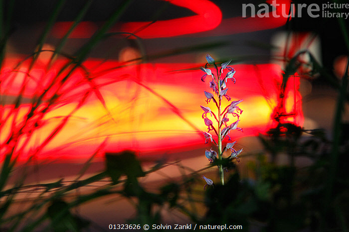 Military Orchid (Orchis militaris) flowering on side of road with light trails from cars, Germany  ,  ABSTRACT,CARS,FLOWERS,GERMANY,LIGHTS,MONOCOTYLEDONS,ORCHIDACEAE,ORCHIDS,PLANTS,ROADS,TRAFFIC,URBAN,VEHICLES,VERGES,WHITE,Europe  ,  Solvin Zankl