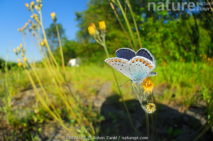 Common blue butterfly (Polyommatus icarus) male feeding on flowering plants, on side of motorway, Germany, June  ,  ARTHROPODS,BUTTERFLIES,FLOWERS,GERMANY,INSECTS,INVERTEBRATES,LEPIDOPTERA,MALES,NECTAR,ROADS,URBAN,VERGES,Europe  ,  Solvin Zankl