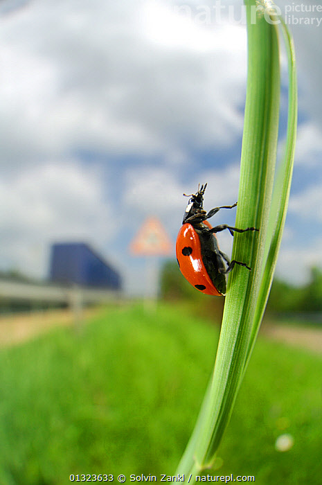 Seven spot ladybird  (Coccinella septempunctata) climbing on grass stem, Germany  ,  animal marking,Balance,BEETLES,catalogue3,CLIMBING,close up,CLOSE UPS,COLEOPTERA,differential focus,exploration,focus on foreground,GERMANY,Grass,INSECTS,INVERTEBRATES,LADYBIRDS,Nobody,one animal,outdoors,ROADS,selective focus,side view,SPOTTED,stem,URBAN,verges,WILDLIFE,Europe,Plants  ,  Solvin Zankl