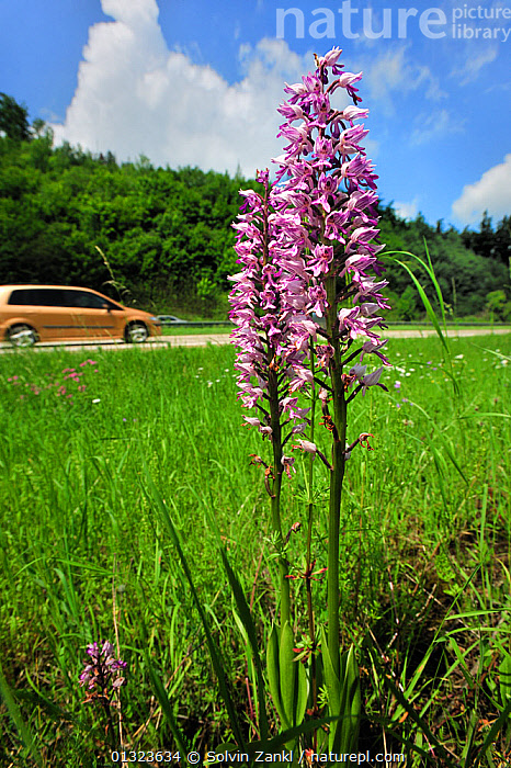 Military Orchid (Orchis militaris) flowering on side of road, with cars passing behind, Germany, June  ,  FLOWERS,GERMANY,MONOCOTYLEDONS,ORCHIDACEAE,ORCHIDS,PINK,PLANTS,ROADS,URBAN,VEHICLES,VERGES,VERTICAL,Europe  ,  Solvin Zankl