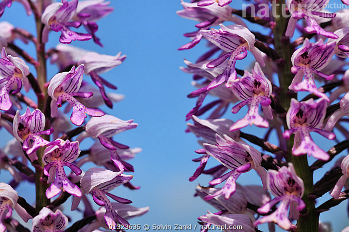 Military Orchid (Orchis militaris) close-up of flowering stems, grwoing on side of road, Germany, June  ,  CLOSE UPS,FLOWERS,GERMANY,MONOCOTYLEDONS,ORCHIDACEAE,ORCHIDS,PINK,PLANTS,VERGES,Europe  ,  Solvin Zankl