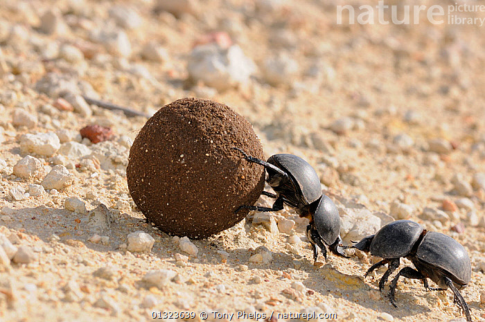 Green-grooved Dung Beetle (Scarabaeus rugosus) male and female with dung ball. deHoop NR, Western Cape, South Africa  ,  AFRICA,BEETLES,BEHAVIOUR,COLEOPTERA,FEMALES,INSECTS,INVERTEBRATES,MALES,NP,REPRODUCTION,RESERVE,SCARAB BEETLES,SOUTH AFRICA,WESTERN,National Park  ,  Tony Phelps