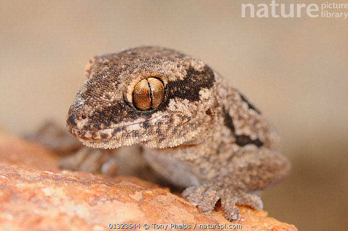 Spotted Thick-toed gecko (Pachydactylus maculatus) head portrait, near Oudtshoorn, Little Karoo, South Africa  ,  AFRICA,CLOSE UPS,EYES,GECKOS,LIZARDS,NP,PORTRAITS,REPTILES,RESERVE,SOUTH AFRICA,VERTEBRATES,National Park  ,  Tony Phelps