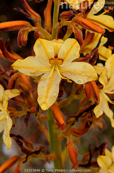 Butterfly Lily (Wachendorfia paniculata) in flower, deHoop NR, Western Cape, South Africa  ,  AFRICA,FLOWERS,HAEMODORACEAE,MONOCOTYLEDONS,PLANTS,RESERVE,SOUTH AFRICA,VERTICAL,YELLOW  ,  Tony Phelps