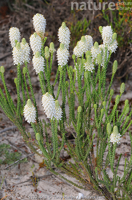 Cat's tail Bulbinella (Bulbinella caudafelis) in flower, DeHoop NR, Western Cape, South Africa  ,  AFRICA,FLOWERS,LILIACEAE,MONOCOTYLEDONS,NP,PLANTS,RESERVE,SOUTH AFRICA,VERTICAL,WHITE,National Park  ,  Tony Phelps