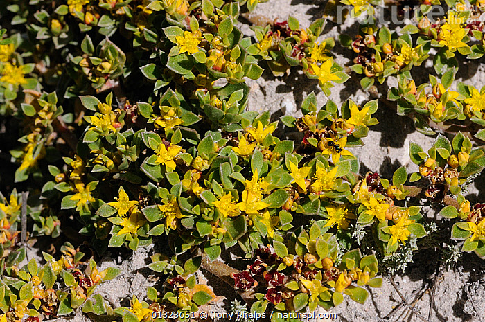 Skaapvygie (Aizoon rigidum) De Hoop NR, Western Cape, South Africa  ,  AFRICA,AIZOACEAE,DICOTYLEDONS,FLOWERS,NP,PLANTS,RESERVE,SOUTH,SOUTH AFRICA,VYGIE,WESTERN,YELLOW,National Park  ,  Tony Phelps