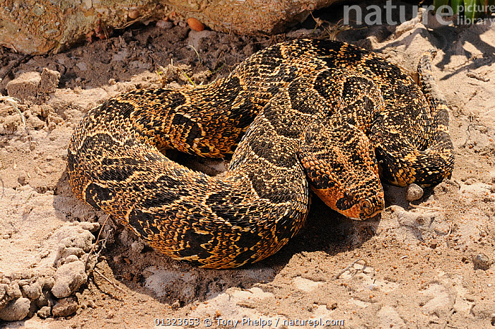 Puff Adder (Bitis arietans) adult male. deHoop NR, Western Cape, South Africa  ,  AFRICA,MALES,NP,REPTILES,RESERVE,SNAKES,SOUTH AFRICA,VENOMOUS,VERTEBRATES,VIPERS,National Park,Adders  ,  Tony Phelps