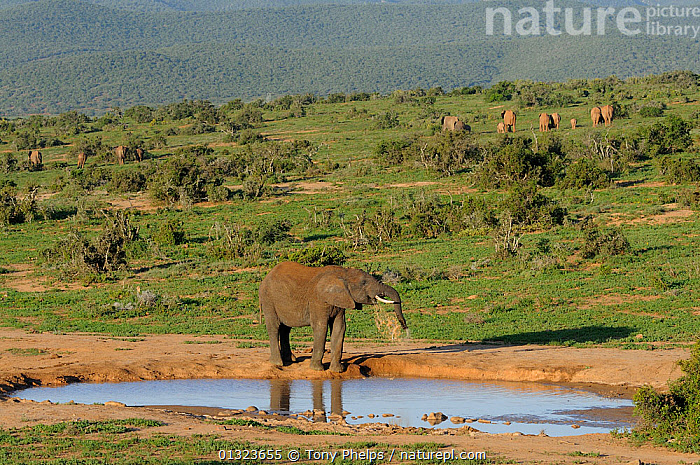 African elephant (Loxodonta africana) spraying itself at waterhole, with rest of herd walking away in the background, Addo Elephant NP, eastern Cape, South Africa, November  ,  BATHING,BEHAVIOUR,DRINKING,ELEPHANTS,ENDANGERED,LANDSCAPES,MAMMALS,NP,PROBOSCIDS,RESERVE,SOUTH AFRICA,VERTEBRATES,WATER,WATERHOLE,National Park  ,  Tony Phelps