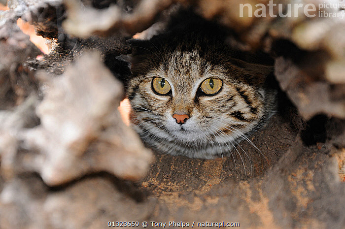 Black-footed \ small spotted cat (Felis nigripes) captive, Tenikwa rehab centre, Western Cape, South Africa  ,  CARNIVORES,CATS,MAMMALS,SOUTH AFRICA,VERTEBRATES  ,  Tony Phelps