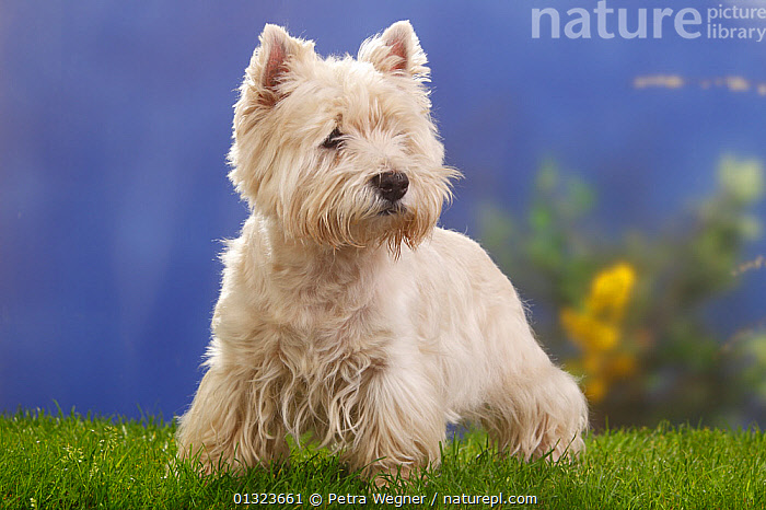 Portrait of West Highland White Terrier standing on grass.  ,  DOGS,PETS,PORTRAITS,SMALL DOGS,STUDIO,TERRIER,TERRIERS,VERTEBRATES,WESTIE,Canids  ,  Petra Wegner