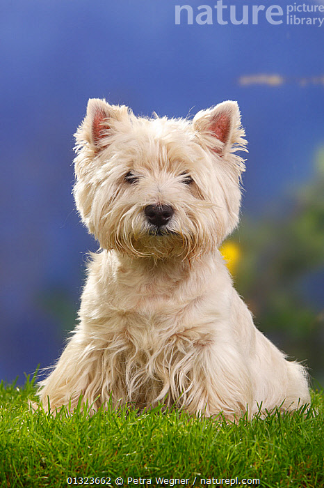 Portrait of West Highland White Terrier sitting on grass.  ,  DOGS,LOOKING AT CAMERA,PETS,PORTRAITS,SMALL DOGS,STUDIO,TERRIERS,VERTEBRATES,VERTICAL,WESTIE,Canids  ,  Petra Wegner
