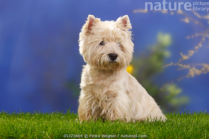 Portrait of West Highland White Terrier sitting on grass.  ,  DOGS,PETS,PORTRAITS,SMALL DOG,SMALL DOGS,STUDIO,TERRIERS,VERTEBRATES,WESTIE,Canids  ,  Petra Wegner