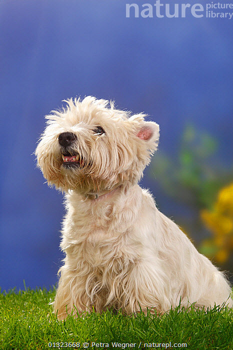 Portrait of West Highland White Terrier sitting on grass.  ,  DOGS,PETS,PORTRAITS,SMALL DOG,SMALL DOGS,STUDIO,TERRIERS,VERTEBRATES,VERTICAL,WESTIE,Canids  ,  Petra Wegner