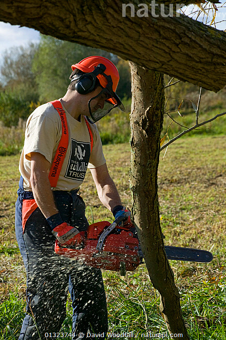 Reserves officer removing fallen Willow tree (Salix) with chainsaw, in wetland nature reserve, Magor Marsh, Gwent Wildlife Trust reserve, Monmouthshire, Wales, October 2010  ,  CAUCASIAN,CONSERVATION,ENGLAND,MAN,MANAGEMENT,OUTDOORS,PEOPLE,POWER TOOLS,RESERVE,RIVERS,SALIX GENUS ,TIDAL,TREES,UK,WATER,Europe,PLANTS,United Kingdom  ,  David Woodfall
