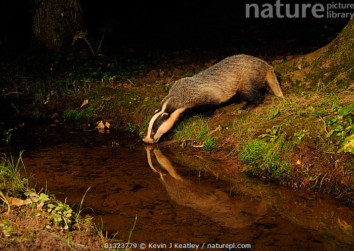 Badger (Meles meles) drinking at stream, with reflections, Mid Devon, England, August  ,  BADGERS,CARNIVORES,DRINKING,ENGLAND,FORAGING,MAMMALS,MUSTELIDS,NIGHT,NOCTURNAL,STREAMS,UK,VERTEBRATES,WATER,WOODLANDS,Europe,United Kingdom  ,  Kevin J Keatley